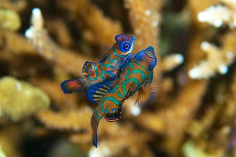 pez mandarin